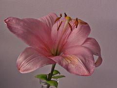 rosa Blumengruss