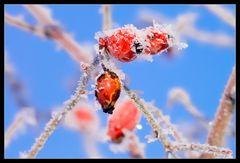 rosa canina on ice [2]