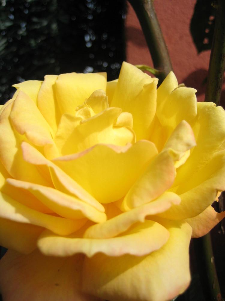 rosa chillona!