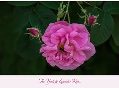 Rosa Damascena...  York and Lancaster....