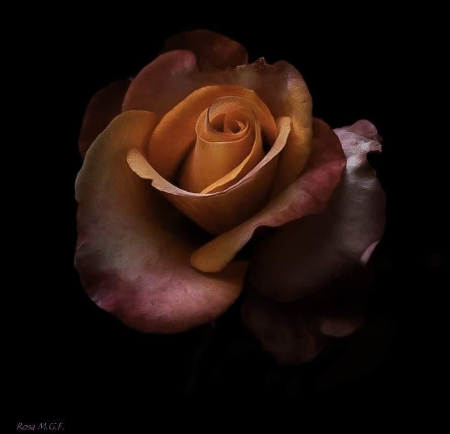 rosa de 4 colores