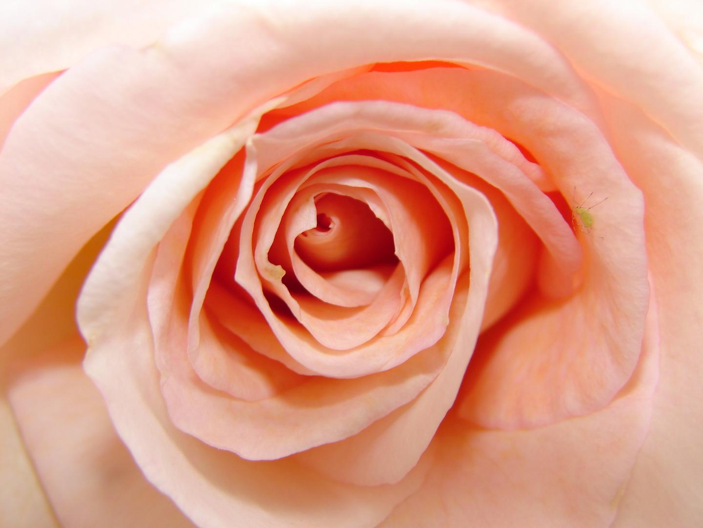 Rosa de color rosa