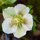 Rosa de cuaresma (Eleborus orientalis)