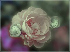 Rosa de invierno