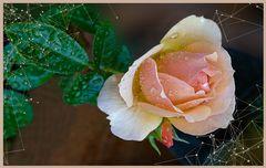 Rosa  de mis amores