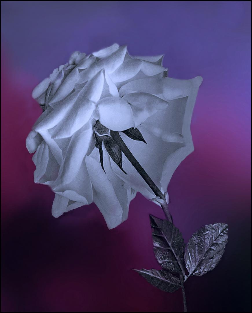 Rosa del regreso