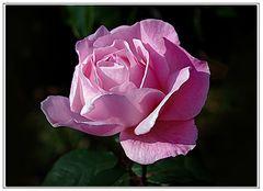 rosa di novembre ..
