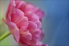 ~ rosa ~