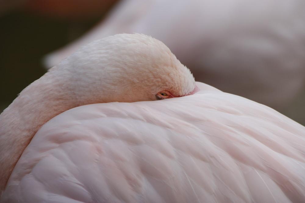 Rosa Flamingo im Standby-Modus