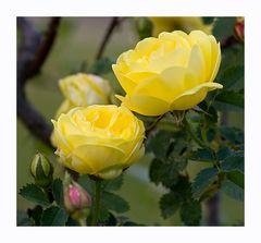 Rosa foetida 'Persiana'