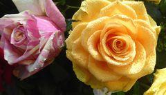rosa gemusterte Rose+gelbe Rose mit Tropfen