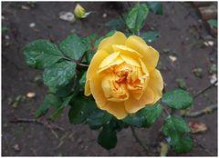 Rosa gialla annaffiata dalla pioggia di dicembre