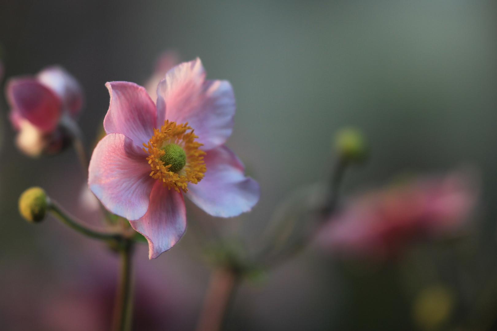Rosa Herbst