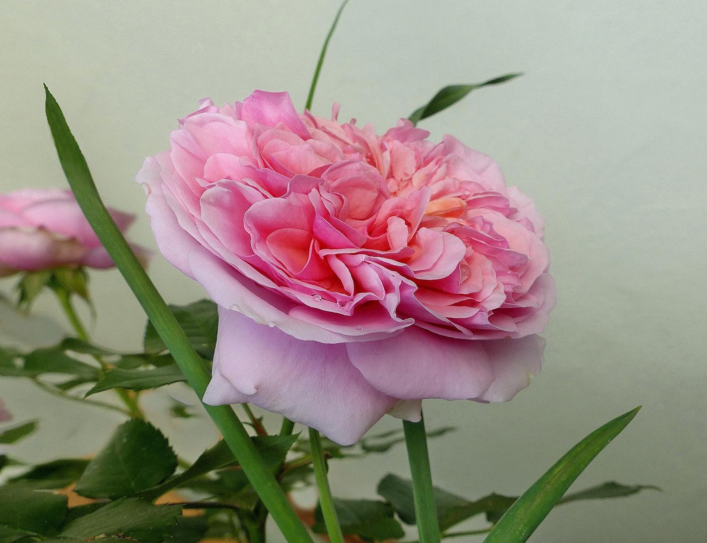 Rosa  im Garten  VI