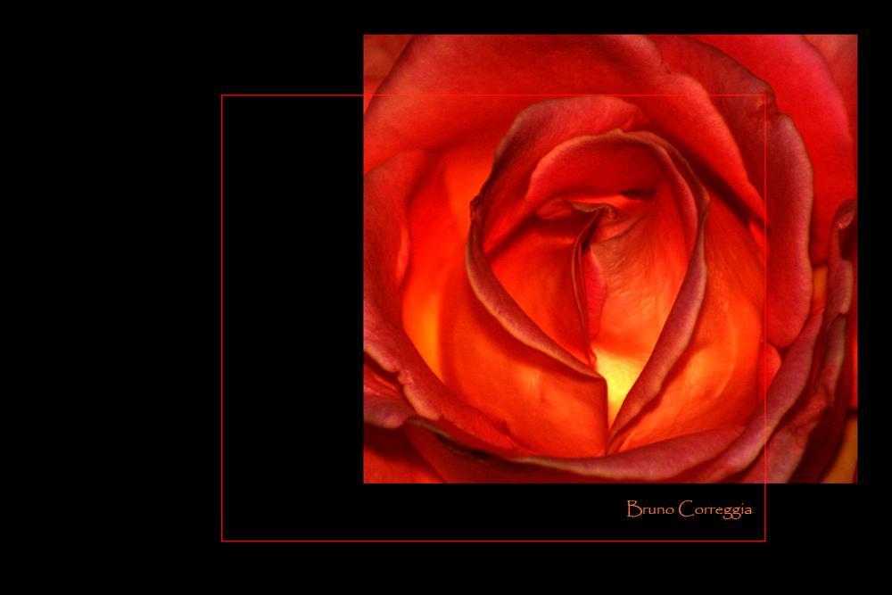 Rosa infuocata