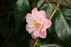 Rosa Kamelie