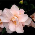 Rosa Kamelienblüten
