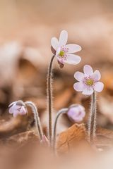 ~ rosa Leberblümchen ~