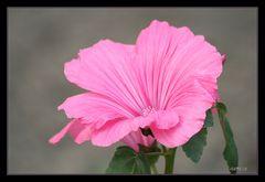 rosa Malve