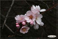 Rosa Mandelblüte