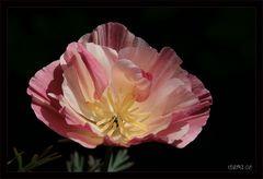 rosa Mohn