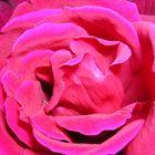 Rosa n.2