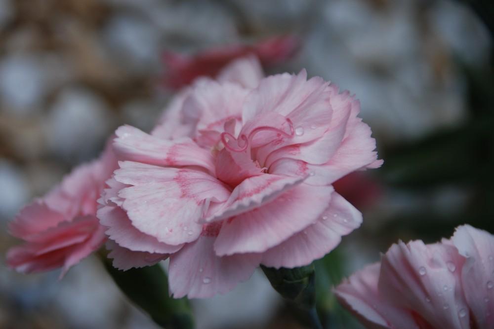 Rosa Nelke