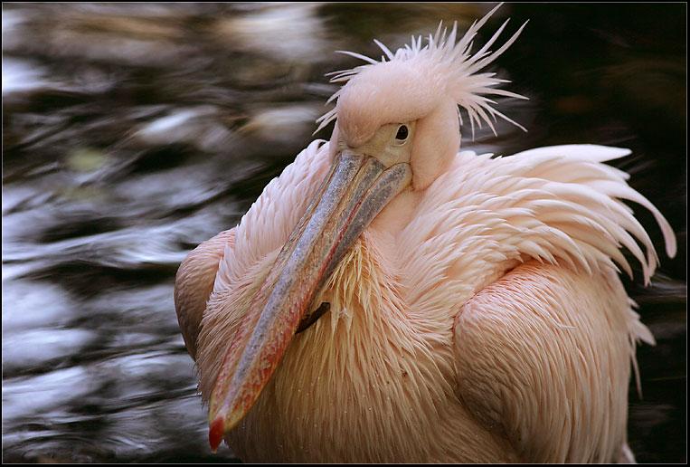 rosa Pelikan