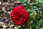 Rosa piangente