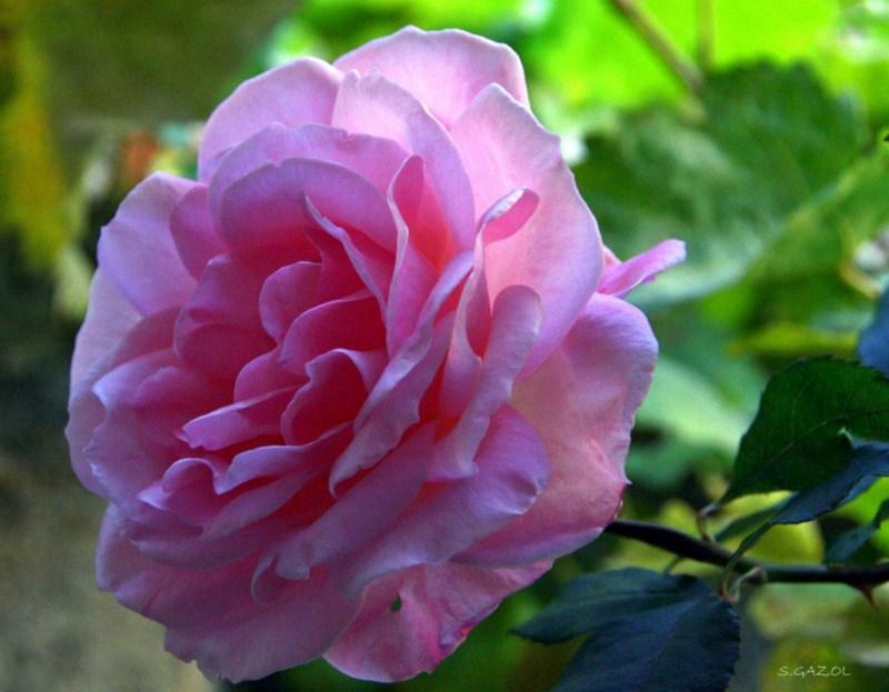 Rosa Plana