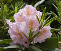 rosa Rhododendronblüte mit orange