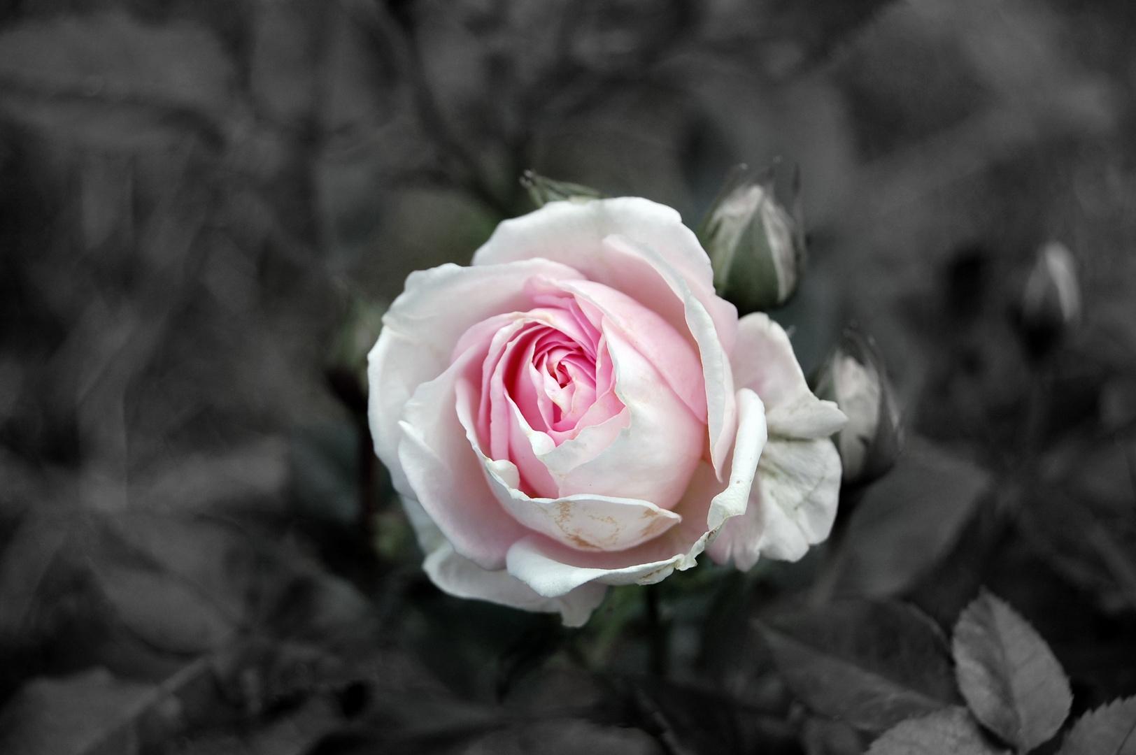 Rosa Röschen =)