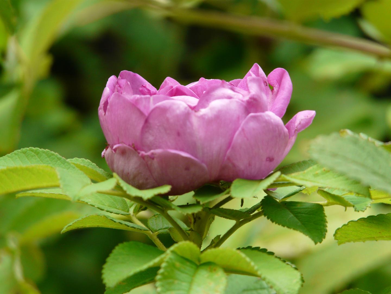 rosa Röschen2