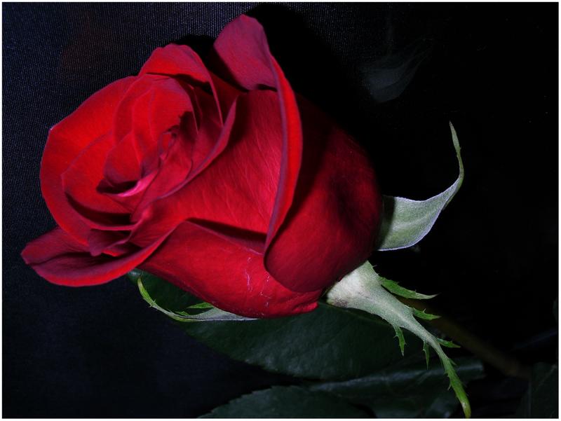 Rosa Roja Imagen Foto Plantas Flores Naturaleza Fotos De