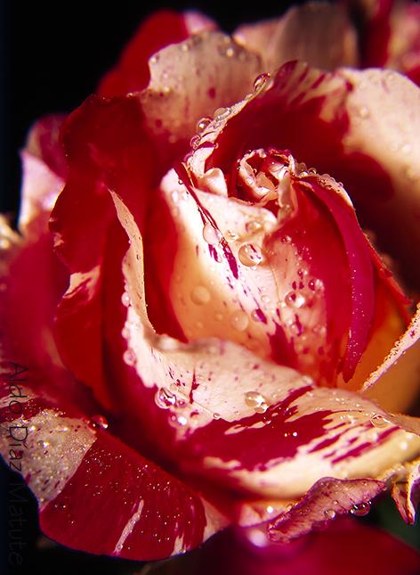 Rosa roja y blanca
