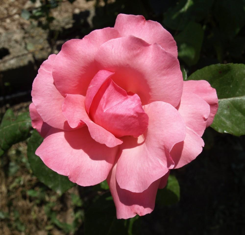Rosa rosa...