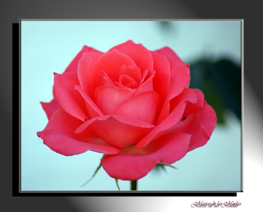 Rosa rosa..