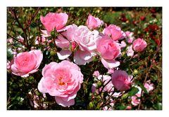 rosa, rosa, rosa