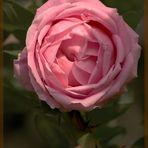 rosa rosada -Cuidado con las espinas