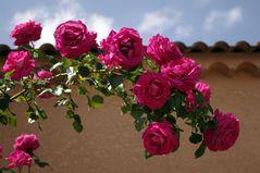 Rosa rosae rosam .....