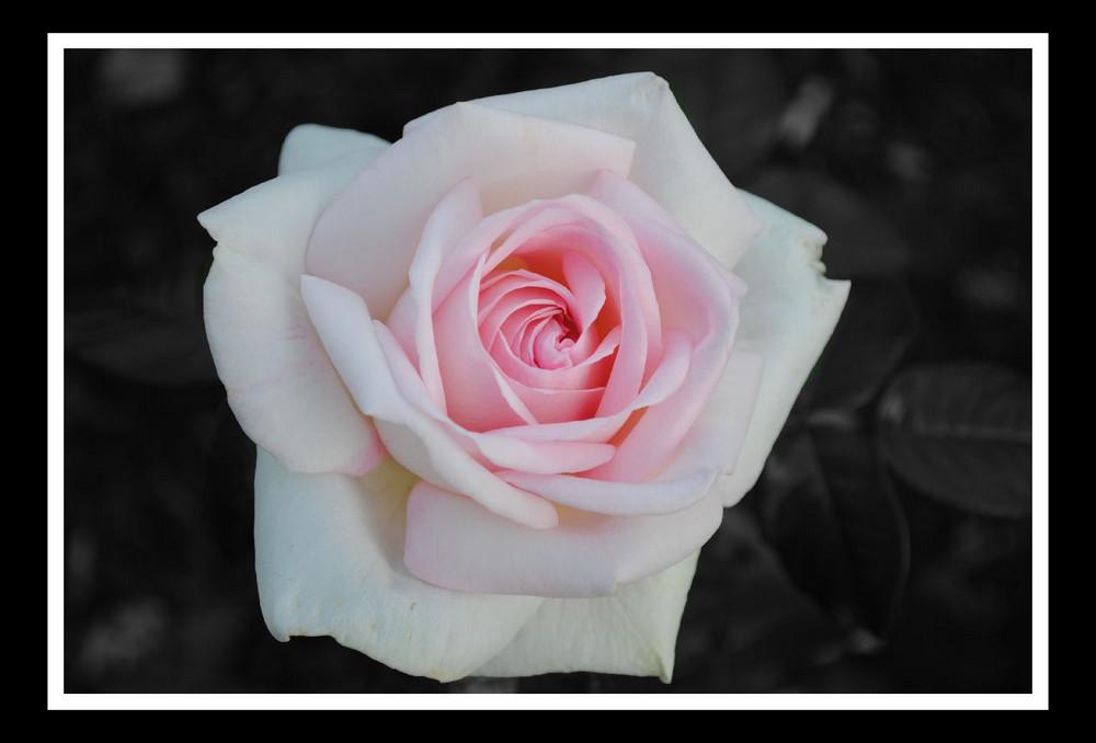 ... rosa Rose ...