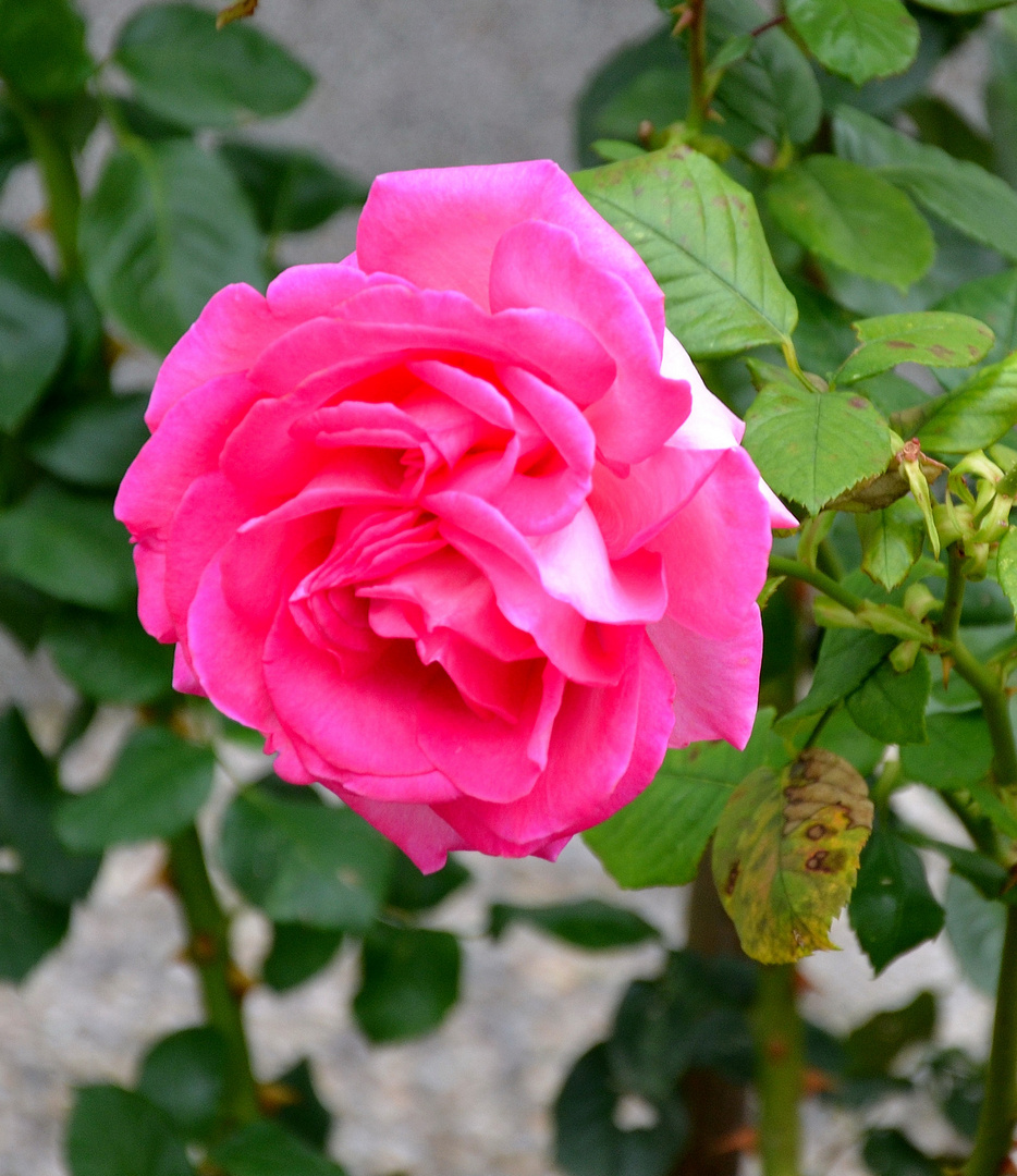 Rosa Rose im Herbst - 1