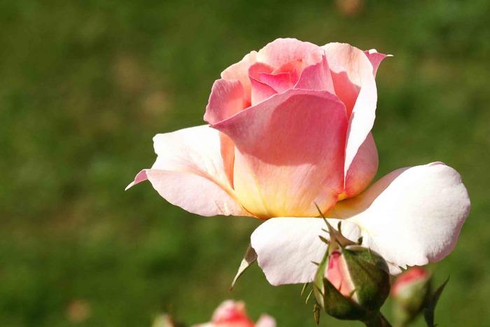 Rosa Rosen...