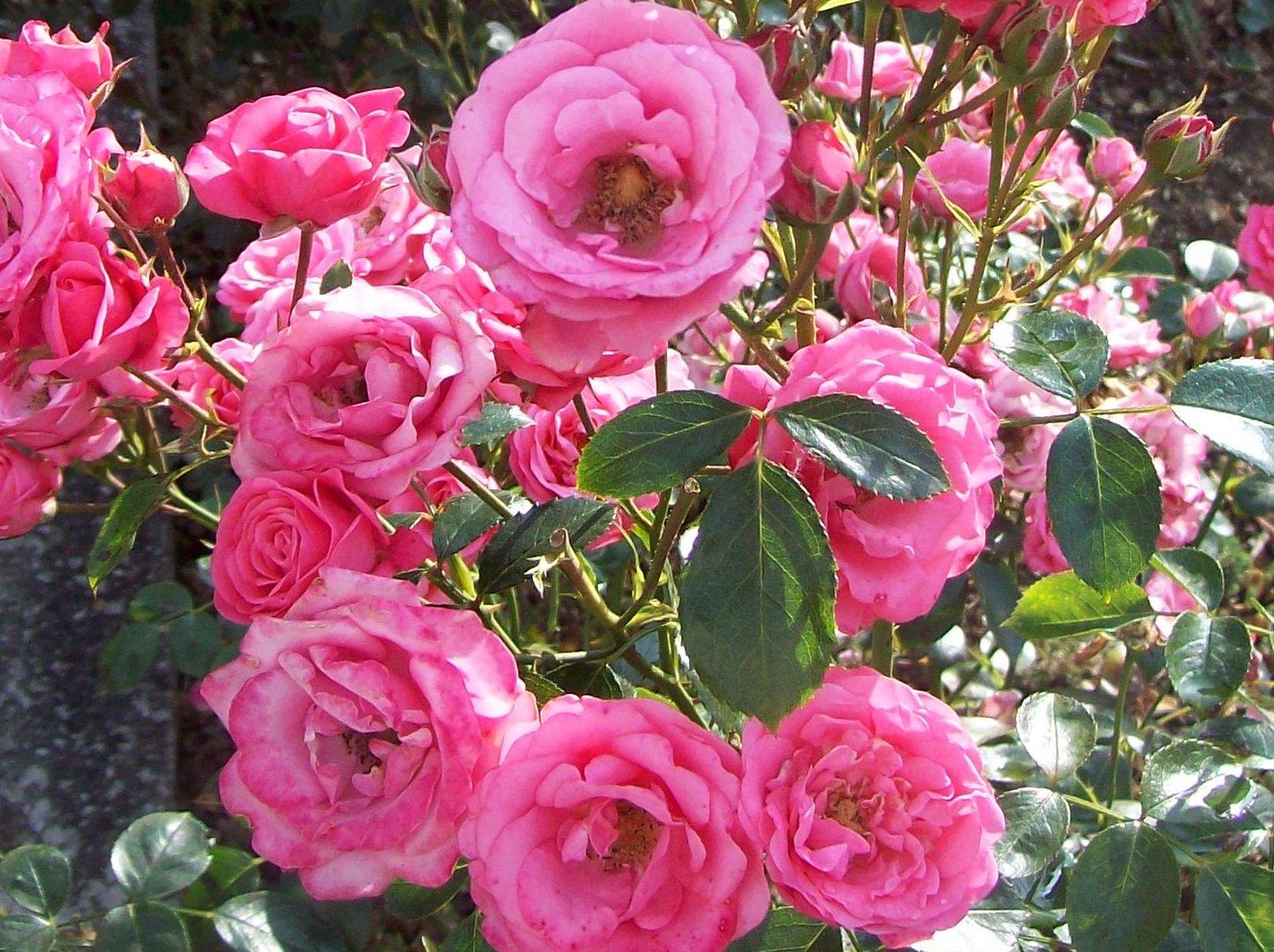 Rosa Roses