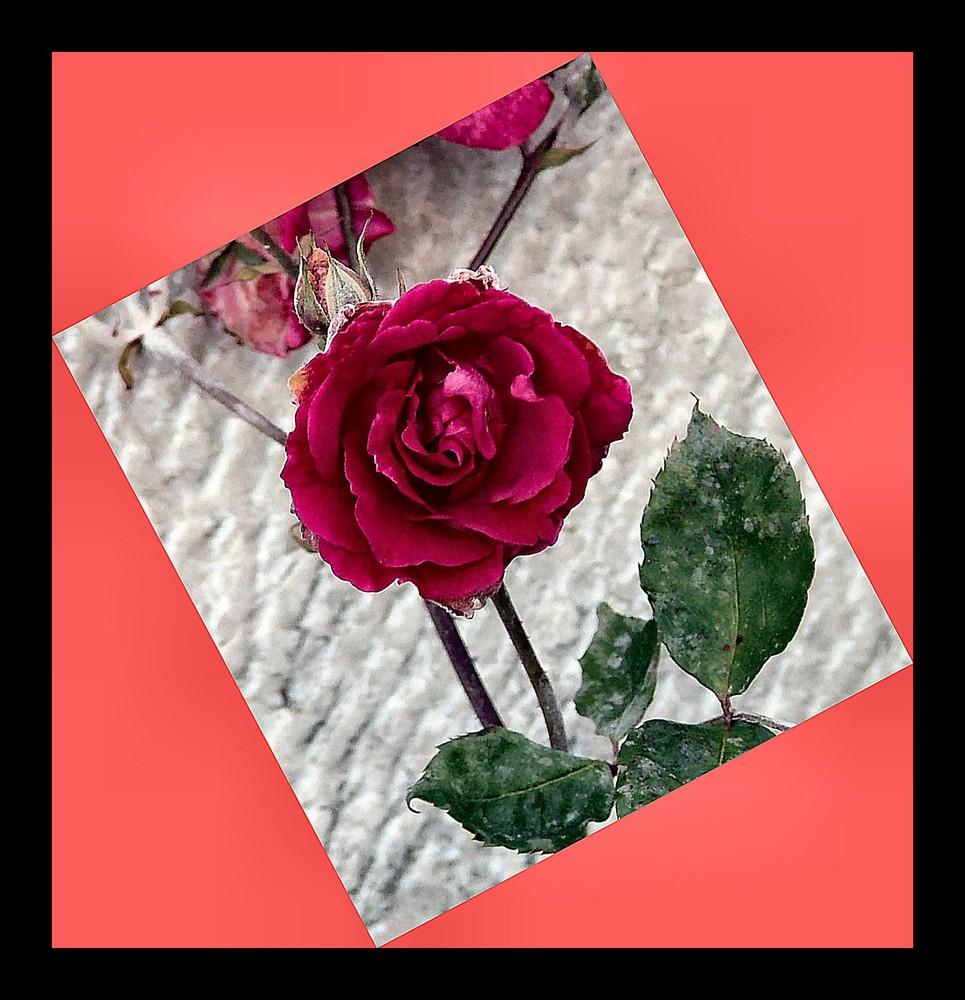 Rosa rossa....per gli amici.