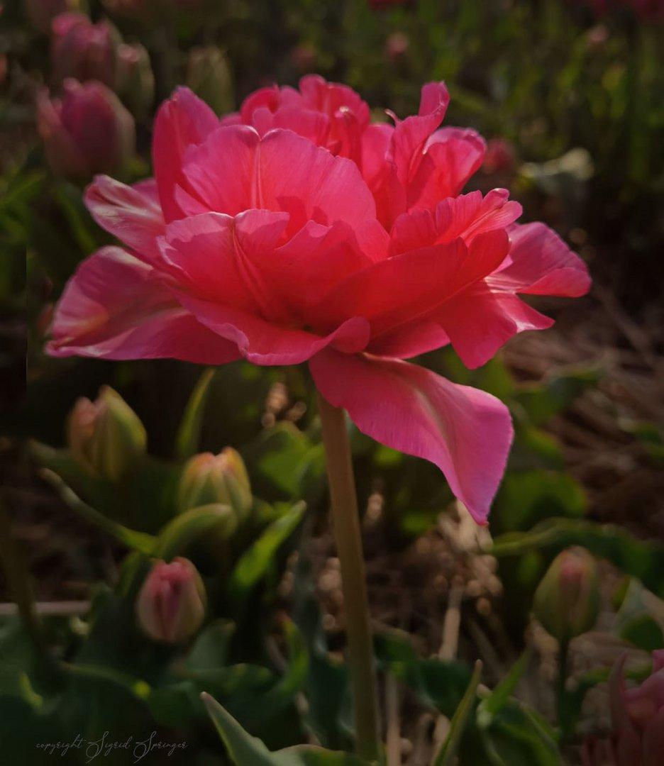 rosa-rot