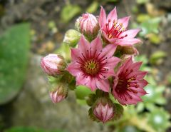 rosa Sterne ...