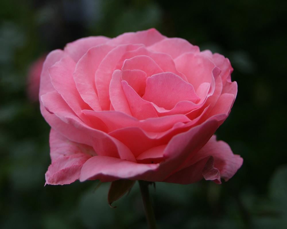 Rosa Traum