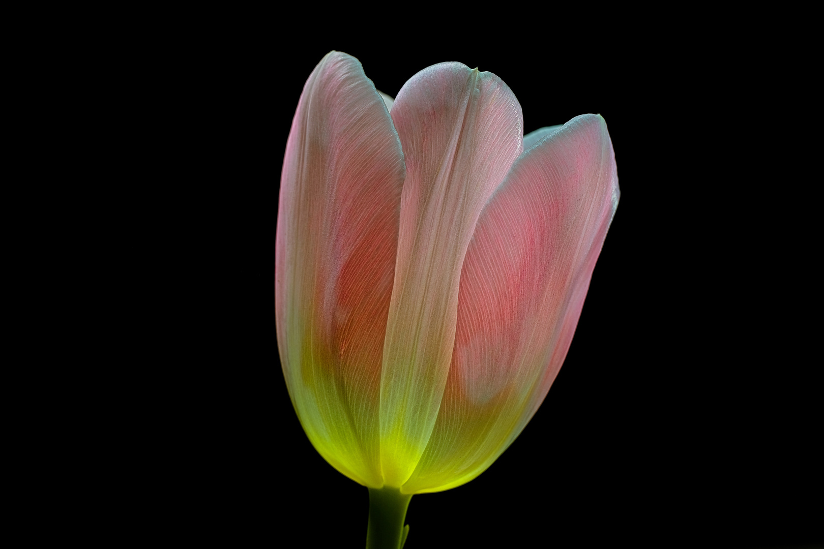 rosa Tulpe