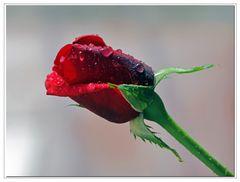 rosa ultima ...